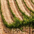 Chinese smart-agriculture reaches Canadian vineyards