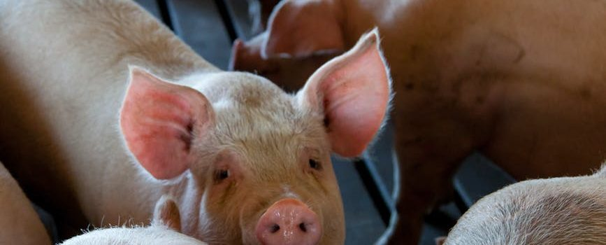 Huawei diversifies, including AI-driven pig farming